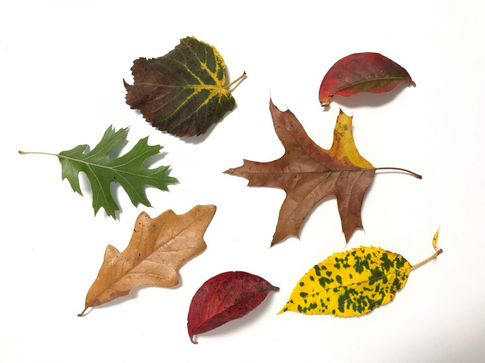 An arrangement of leaves. One leaf is green, one is yellow with green speckles, one shows yellow veins on a green transitioning to red, two leaves are red, and two are brown.